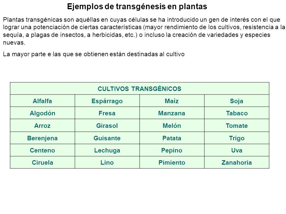 Ejemplos de transgénesis en plantas CULTIVOS TRANSGÉNICOS AlfalfaEspárragoMaízSoja AlgodónFresaManzanaTabaco ArrozGirasolMelónTomate BerenjenaGuisante