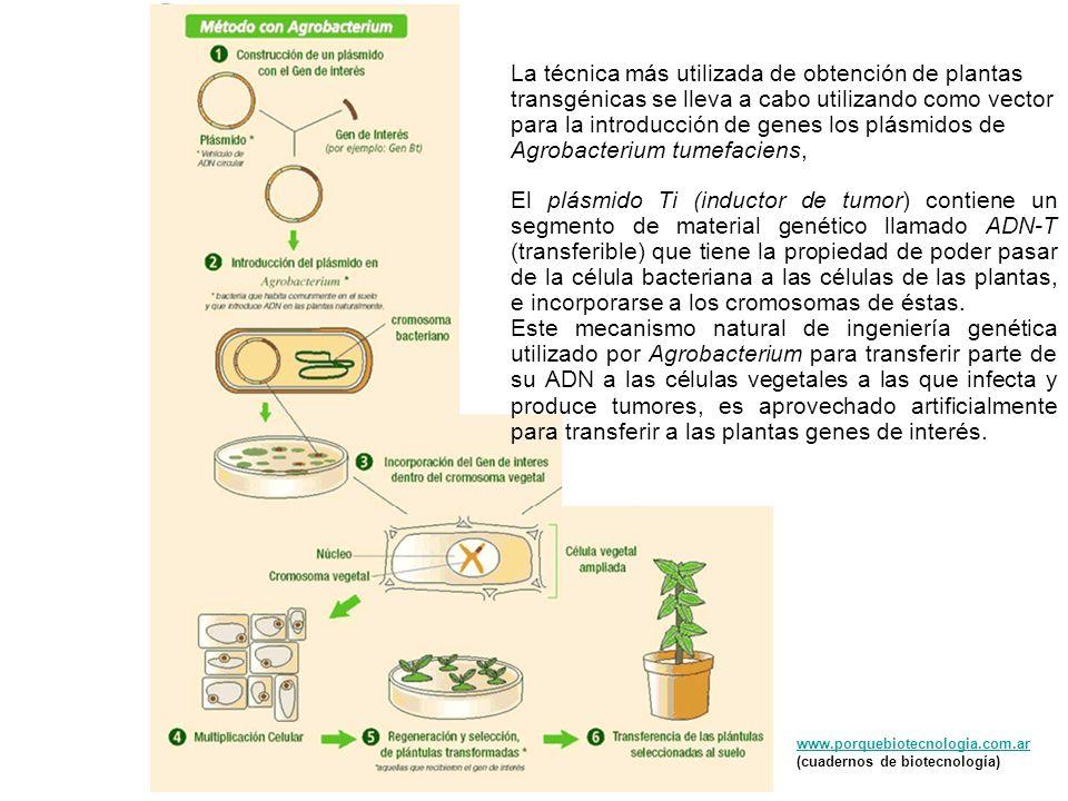 www.porquebiotecnologia.com.ar (cuadernos de biotecnología) La técnica más utilizada de obtención de plantas transgénicas se lleva a cabo utilizando c