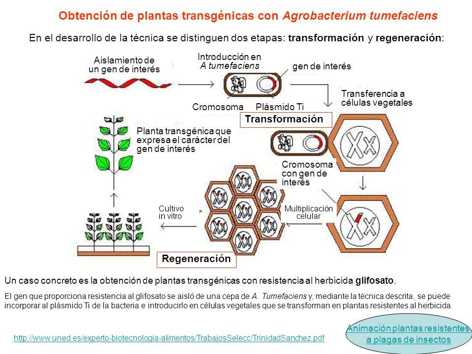 Aislamiento de un gen de interés Introducción en A tumefaciens gen de interés CromosomaPlásmido Ti Transferencia a células vegetales Cromosoma con gen