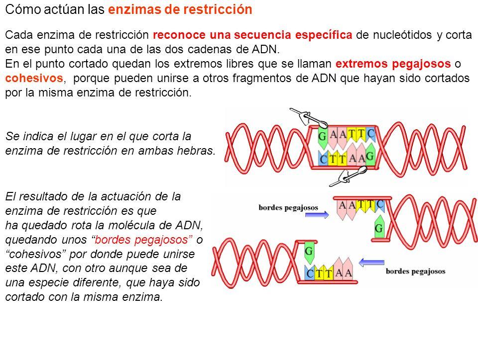 Se indica el lugar en el que corta la enzima de restricción en ambas hebras. El resultado de la actuación de la enzima de restricción es que ha quedad