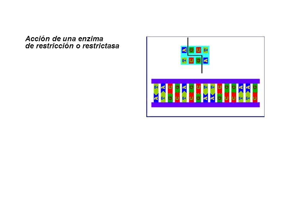 http://www.ucm.es/info/genetica/AVG/practicas/secuencia/Secuencia.htm La secuenciación del ADN (fuera de programa) Métodos de secuenciación
