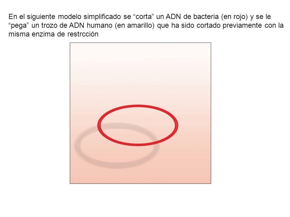 En el siguiente modelo simplificado se corta un ADN de bacteria (en rojo) y se le pega un trozo de ADN humano (en amarillo) que ha sido cortado previa