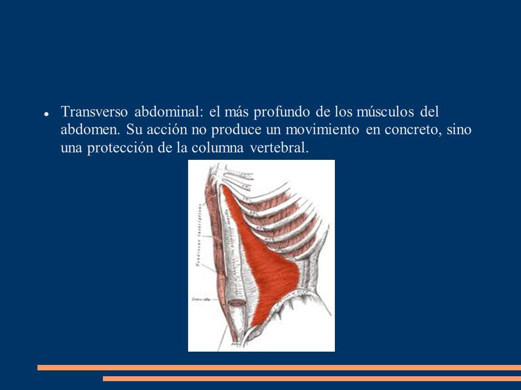 Transverso abdominal: el más profundo de los músculos del abdomen. Su acción no produce un movimiento en concreto, sino una protección de la columna v