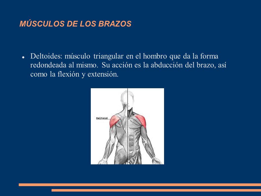 MÚSCULOS DE LOS BRAZOS Deltoides: músculo triangular en el hombro que da la forma redondeada al mismo. Su acción es la abducción del brazo, así como l