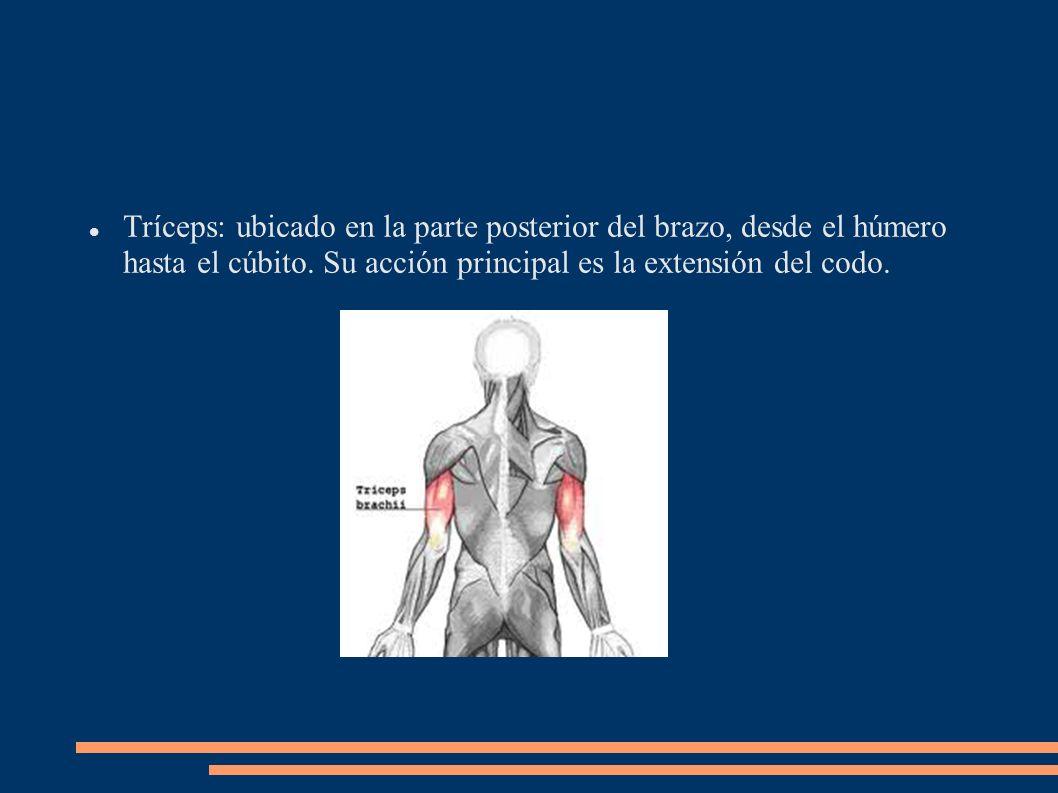 Tríceps: ubicado en la parte posterior del brazo, desde el húmero hasta el cúbito. Su acción principal es la extensión del codo.