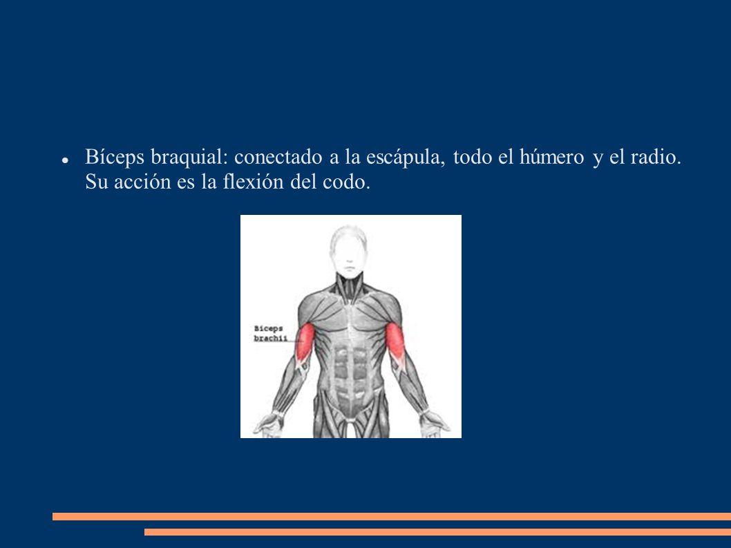 Bíceps braquial: conectado a la escápula, todo el húmero y el radio. Su acción es la flexión del codo.