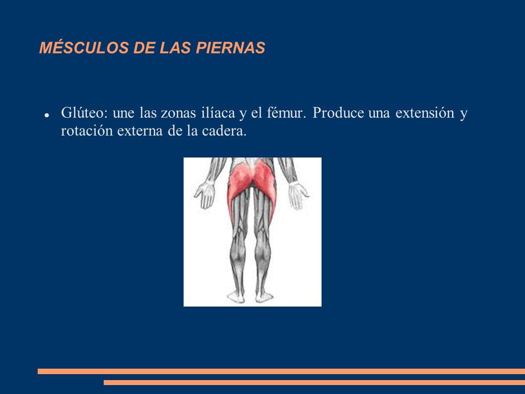 MÉSCULOS DE LAS PIERNAS Glúteo: une las zonas ilíaca y el fémur. Produce una extensión y rotación externa de la cadera.