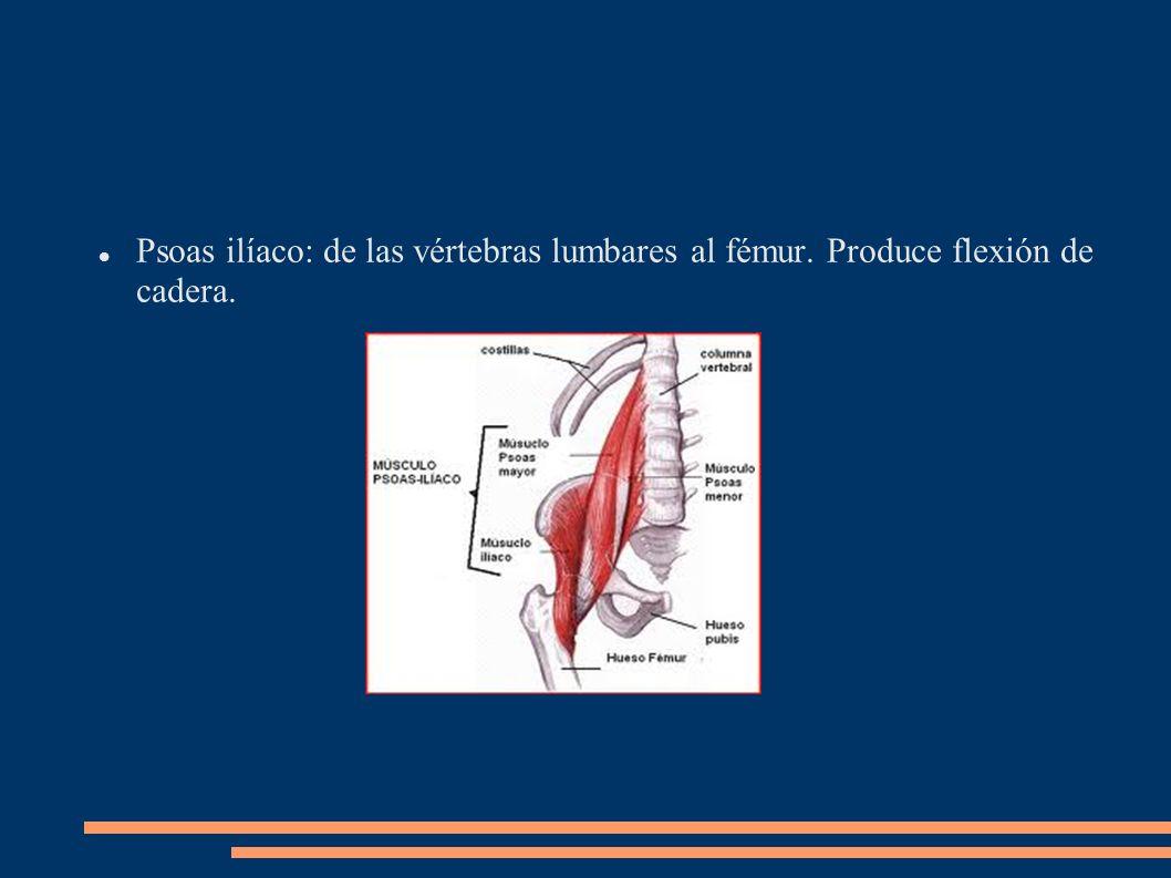 Psoas ilíaco: de las vértebras lumbares al fémur. Produce flexión de cadera.