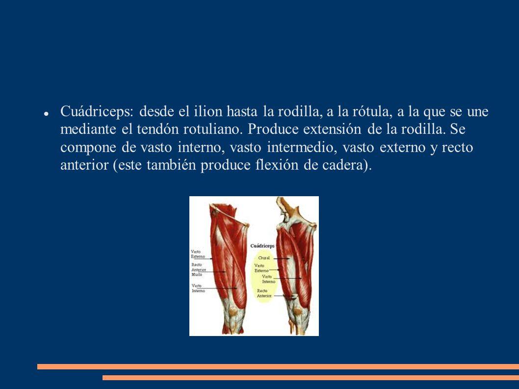 Cuádriceps: desde el ilion hasta la rodilla, a la rótula, a la que se une mediante el tendón rotuliano. Produce extensión de la rodilla. Se compone de