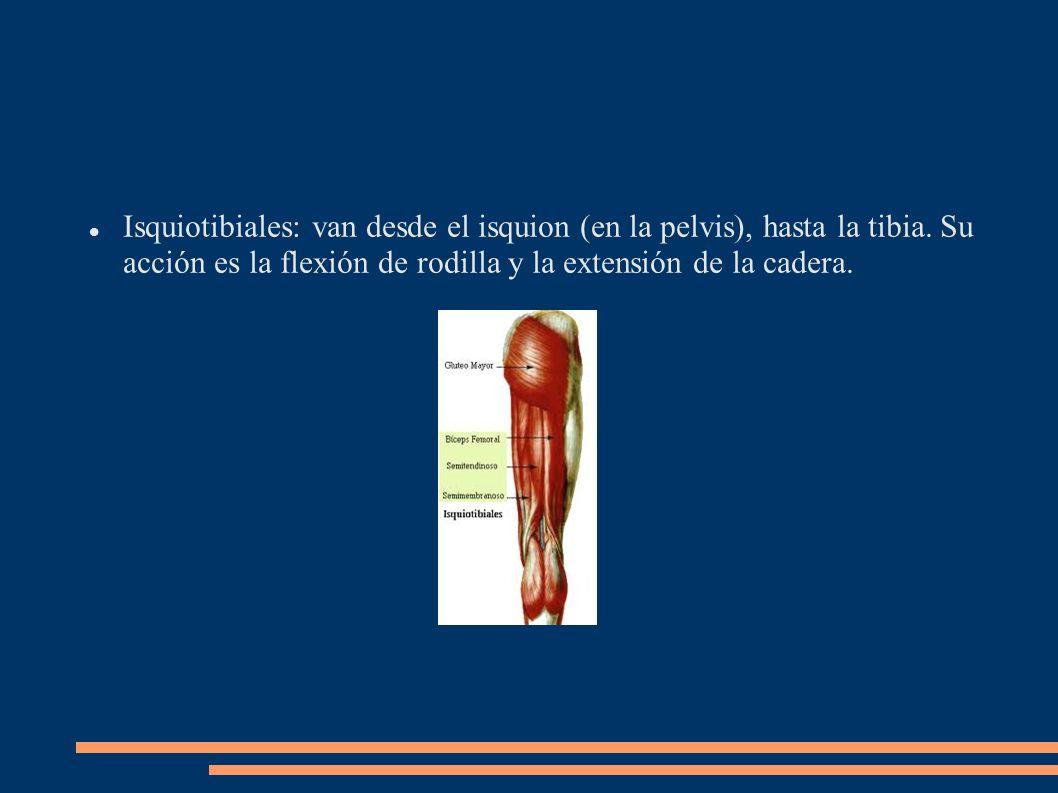 Isquiotibiales: van desde el isquion (en la pelvis), hasta la tibia. Su acción es la flexión de rodilla y la extensión de la cadera.