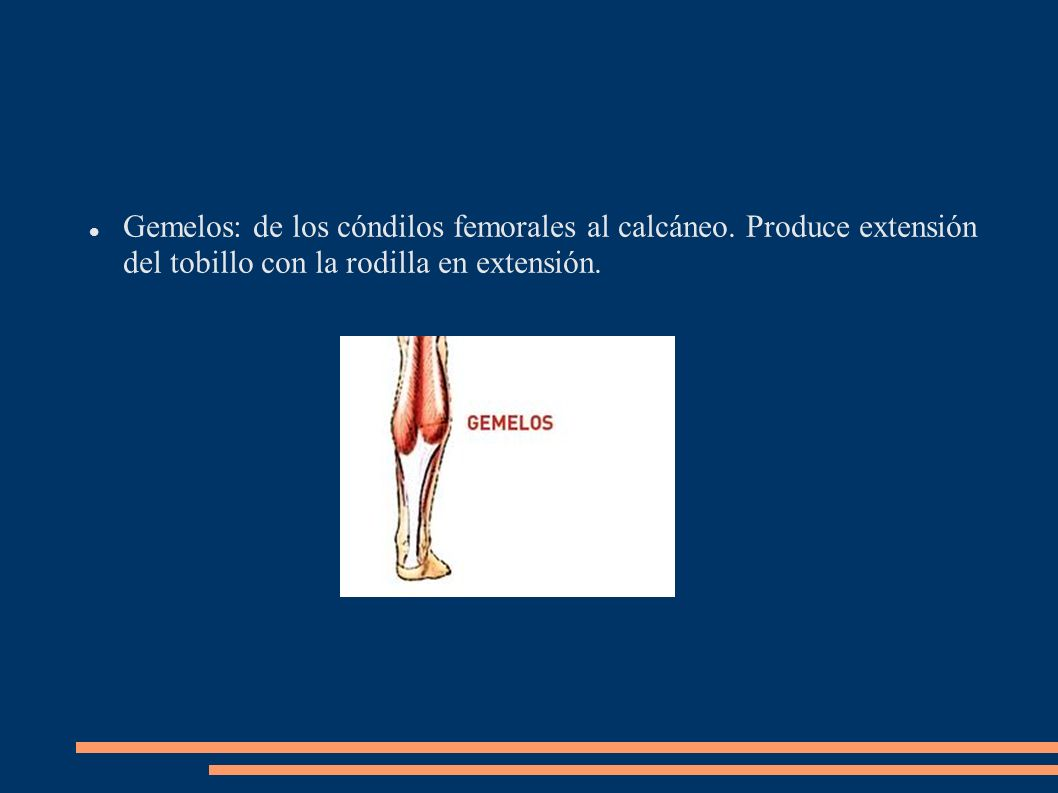 Gemelos: de los cóndilos femorales al calcáneo. Produce extensión del tobillo con la rodilla en extensión.