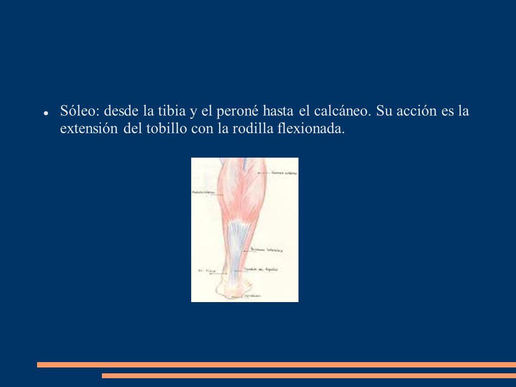 Sóleo: desde la tibia y el peroné hasta el calcáneo. Su acción es la extensión del tobillo con la rodilla flexionada.