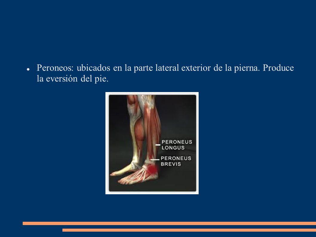 Peroneos: ubicados en la parte lateral exterior de la pierna. Produce la eversión del pie.