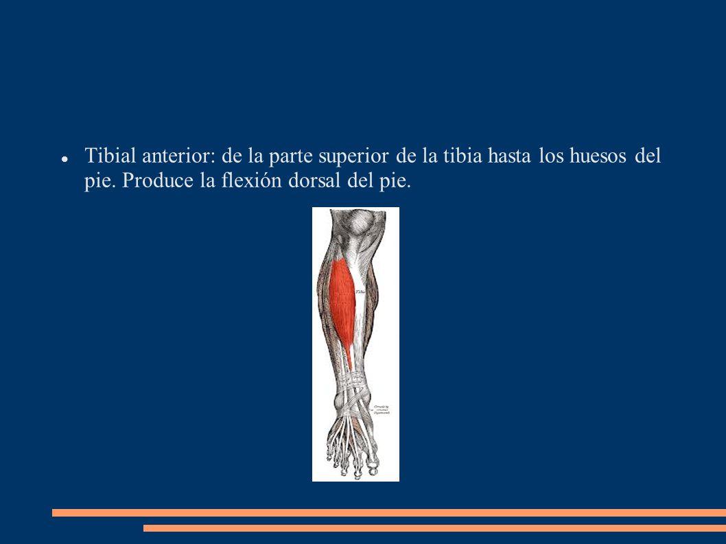 Tibial anterior: de la parte superior de la tibia hasta los huesos del pie. Produce la flexión dorsal del pie.