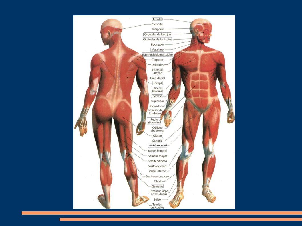 Bíceps braquial: conectado a la escápula, todo el húmero y el radio.