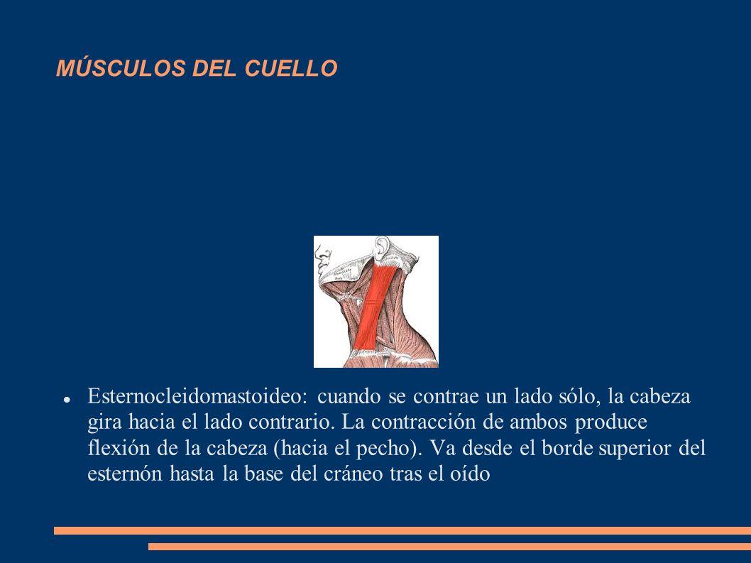 MÚSCULOS DEL CUELLO Esternocleidomastoideo: cuando se contrae un lado sólo, la cabeza gira hacia el lado contrario. La contracción de ambos produce fl