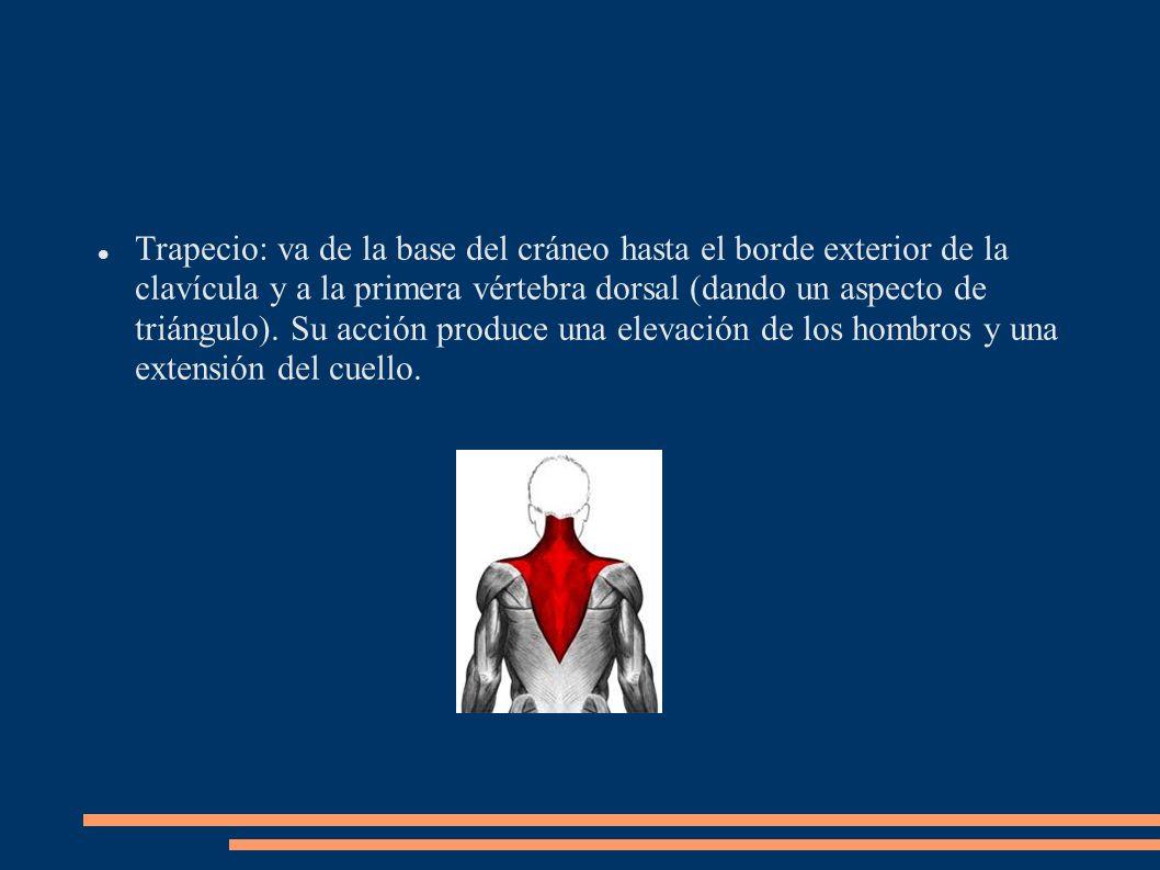 Trapecio: va de la base del cráneo hasta el borde exterior de la clavícula y a la primera vértebra dorsal (dando un aspecto de triángulo). Su acción p