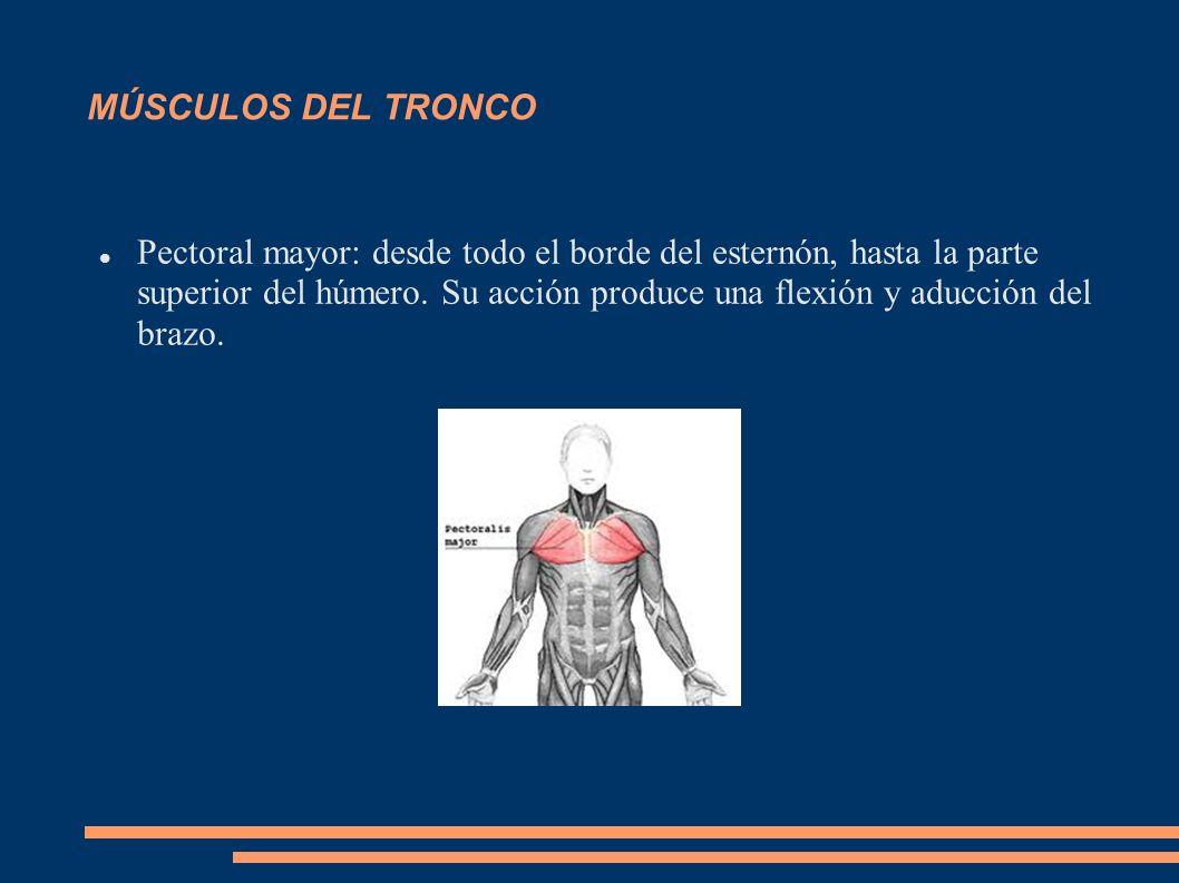 MÚSCULOS DEL TRONCO Pectoral mayor: desde todo el borde del esternón, hasta la parte superior del húmero. Su acción produce una flexión y aducción del