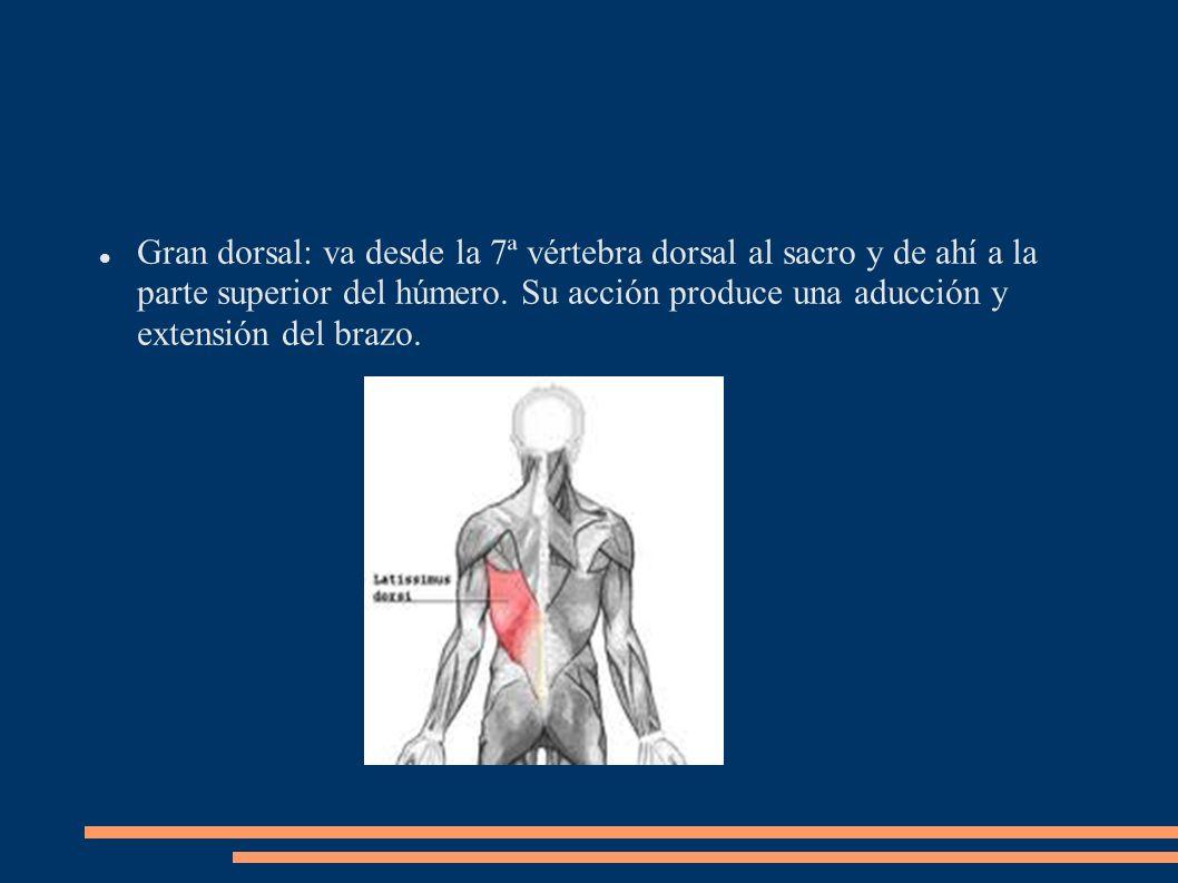 Gran dorsal: va desde la 7ª vértebra dorsal al sacro y de ahí a la parte superior del húmero. Su acción produce una aducción y extensión del brazo.
