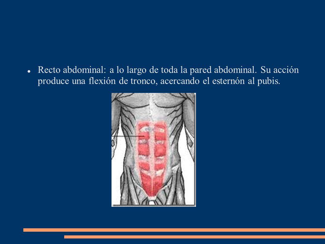 Recto abdominal: a lo largo de toda la pared abdominal. Su acción produce una flexión de tronco, acercando el esternón al pubis.