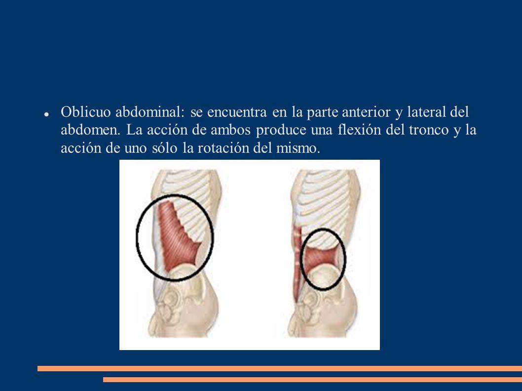 Oblicuo abdominal: se encuentra en la parte anterior y lateral del abdomen. La acción de ambos produce una flexión del tronco y la acción de uno sólo