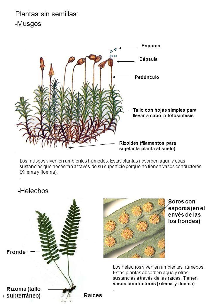Cápsula Esporas -Musgos Plantas sin semillas: Los musgos viven en ambientes húmedos. Estas plantas absorben agua y otras sustancias que necesitan a tr