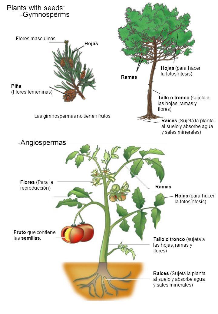 Ramas Flores (Para la reproducción) Fruto que contiene las semillas. -Angiospermas -Gymnosperms Ramas Hojas (para hacer la fotosíntesis) Tallo o tronc
