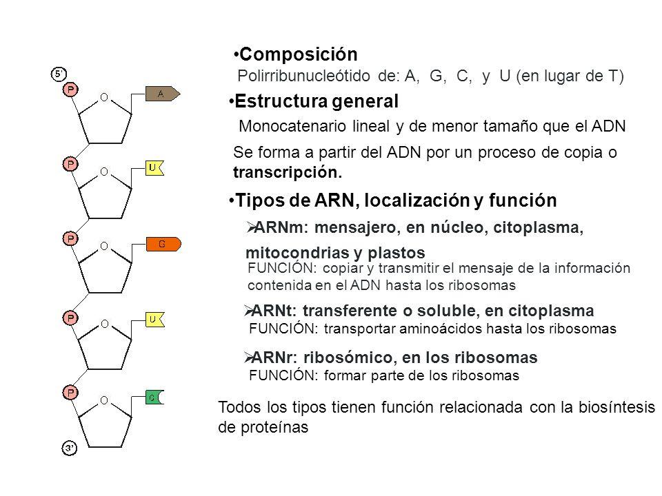 Composición Polirribunucleótido de: A, G, C, y U (en lugar de T) Estructura general Monocatenario lineal y de menor tamaño que el ADN Tipos de ARN, lo