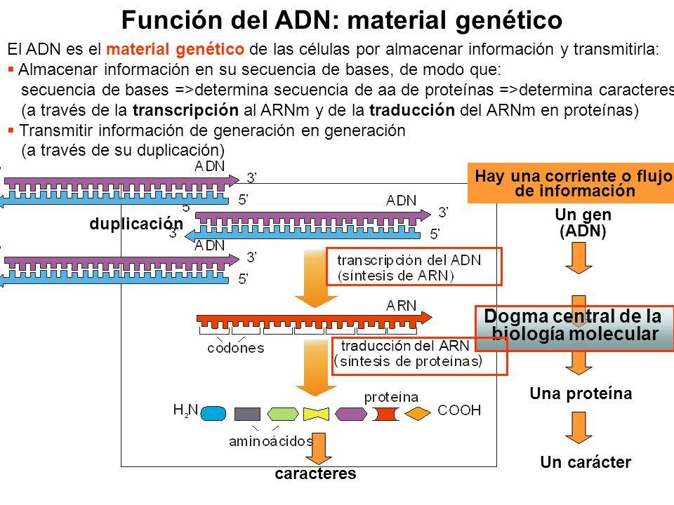 Función del ADN: material genético El ADN es el material genético de las células por almacenar información y transmitirla: Almacenar información en su