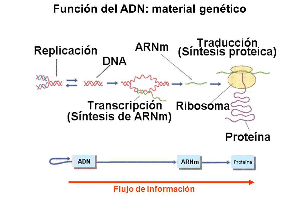Función del ADN: material genético Flujo de información