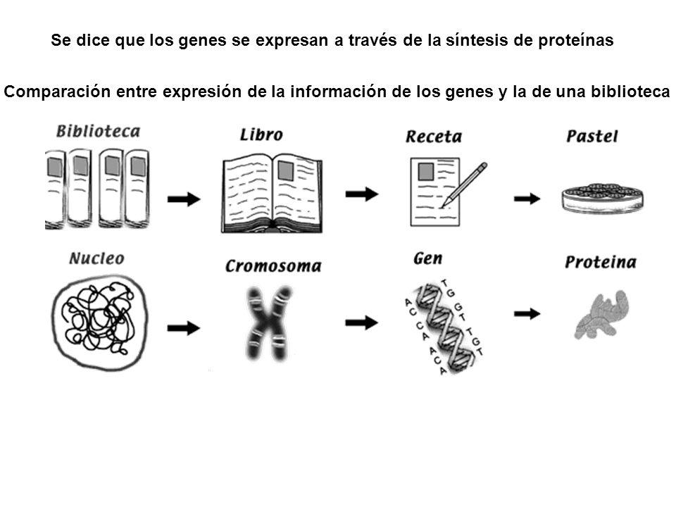 Comparación entre expresión de la información de los genes y la de una biblioteca Se dice que los genes se expresan a través de la síntesis de proteín