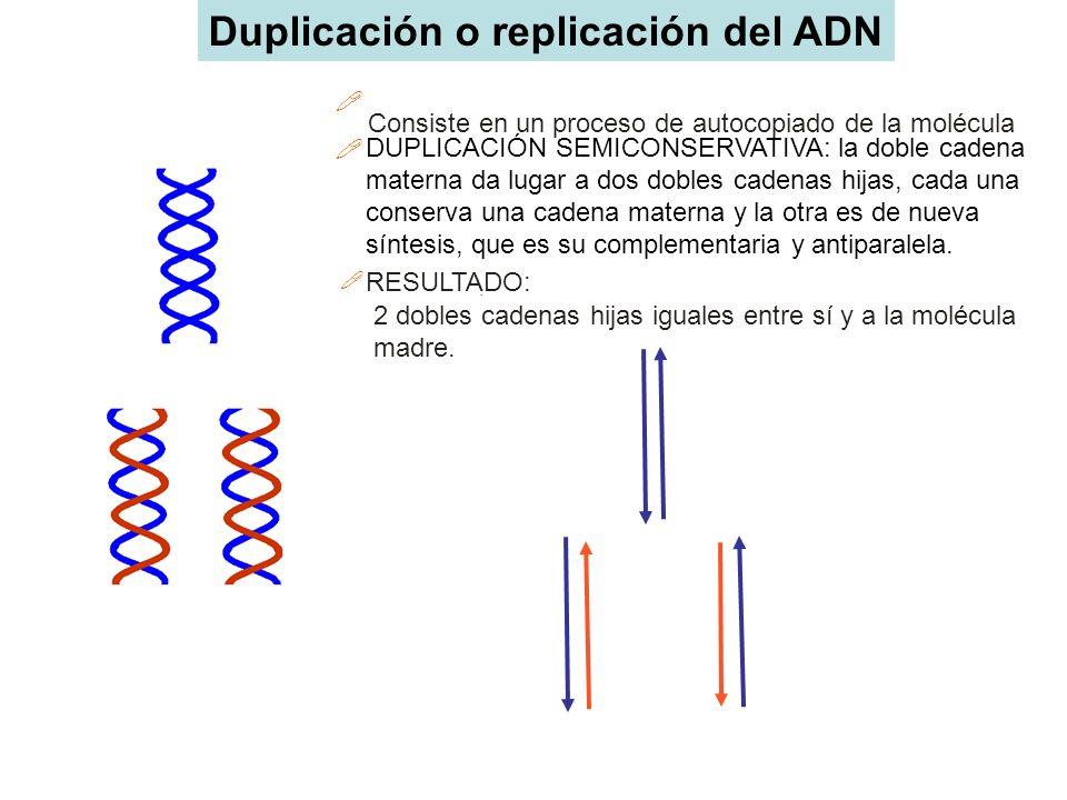 Duplicación o replicación del ADN Consiste en un proceso de autocopiado de la molécula DUPLICACIÓN SEMICONSERVATIVA: la doble cadena materna da lugar
