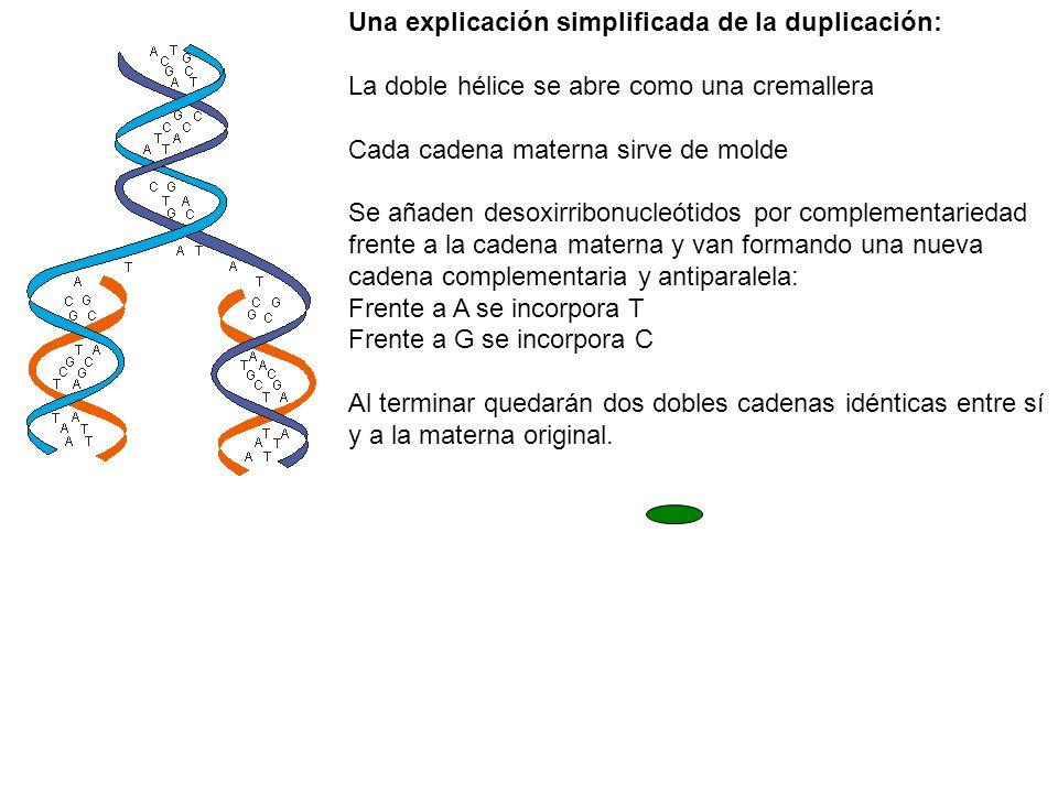 Una explicación simplificada de la duplicación: La doble hélice se abre como una cremallera Cada cadena materna sirve de molde Se añaden desoxirribonu