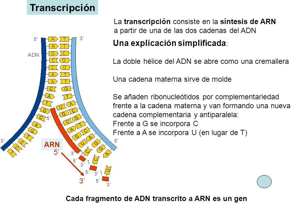 La transcripción consiste en la síntesis de ARN a partir de una de las dos cadenas del ADN Una explicación simplificada : La doble hélice del ADN se a