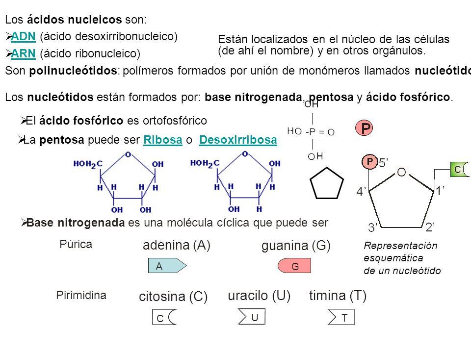 Los ácidos nucleicos son: ADN (ácido desoxirribonucleico) ARN (ácido ribonucleico) Son polinucleótidos: polímeros formados por unión de monómeros llam
