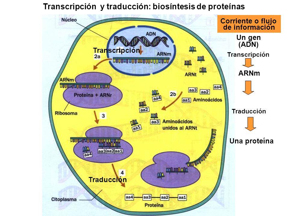 Transcripción y traducción: biosíntesis de proteínas Traducción Un gen (ADN) Una proteína Corriente o flujo de información Transcripción ARNm Traducci