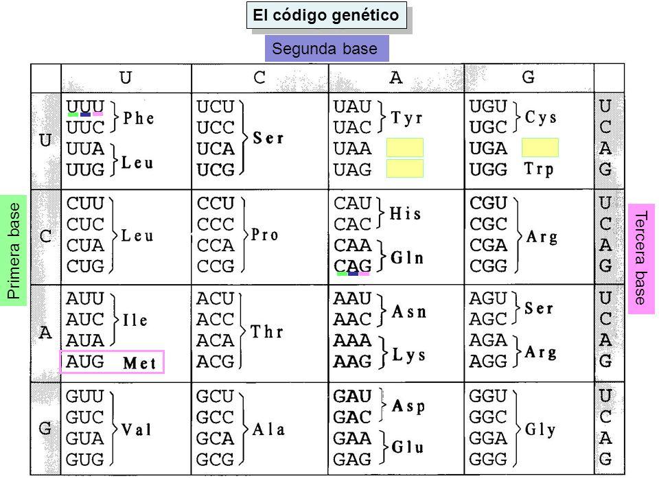 El código genético Primera base Segunda base Tercera base