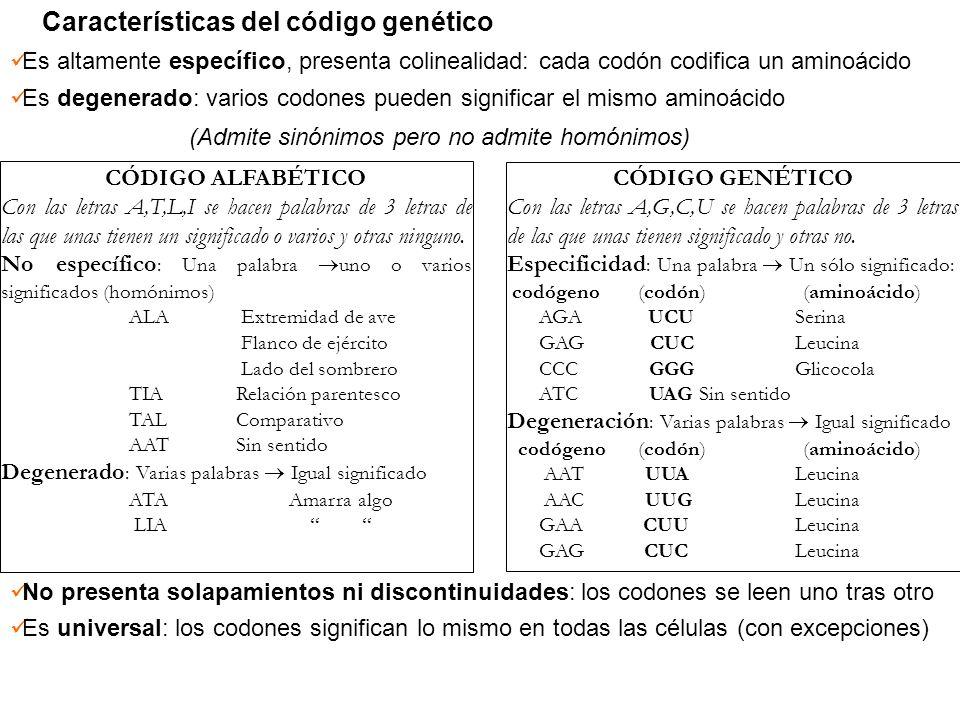 Características del código genético Es altamente específico, presenta colinealidad: cada codón codifica un aminoácido Es degenerado: varios codones pu