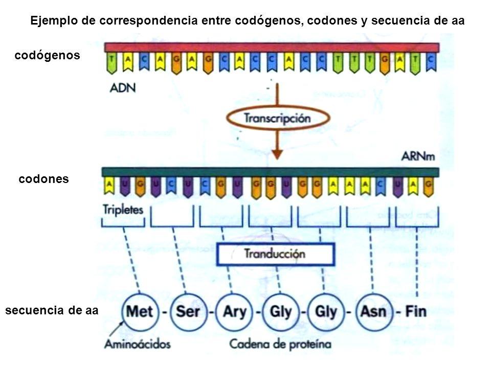 Ejemplo de correspondencia entre codógenos, codones y secuencia de aa codógenos codones secuencia de aa