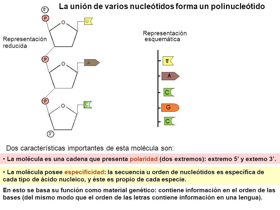 Función del ADN: material genético El ADN es el material genético de las células por almacenar información y transmitirla: Almacenar información en su secuencia de bases, de modo que: secuencia de bases =>determina secuencia de aa de proteínas =>determina caracteres (a través de la transcripción al ARNm y de la traducción del ARNm en proteínas) Transmitir información de generación en generación (a través de su duplicación) caracteres Un gen (ADN) Una proteína Un carácter traducción del ARN () duplicación Dogma central de la biología molecular Hay una corriente o flujo de información