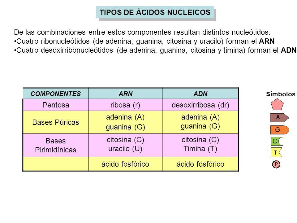 De las combinaciones entre estos componentes resultan distintos nucleótidos: Cuatro ribonucleótidos (de adenina, guanina, citosina y uracilo) forman e