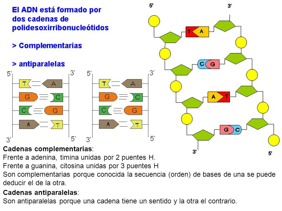 Cadenas complementarias: Frente a adenina, timina unidas por 2 puentes H. Frente a guanina, citosina unidas por 3 puentes H Son complementarias porque