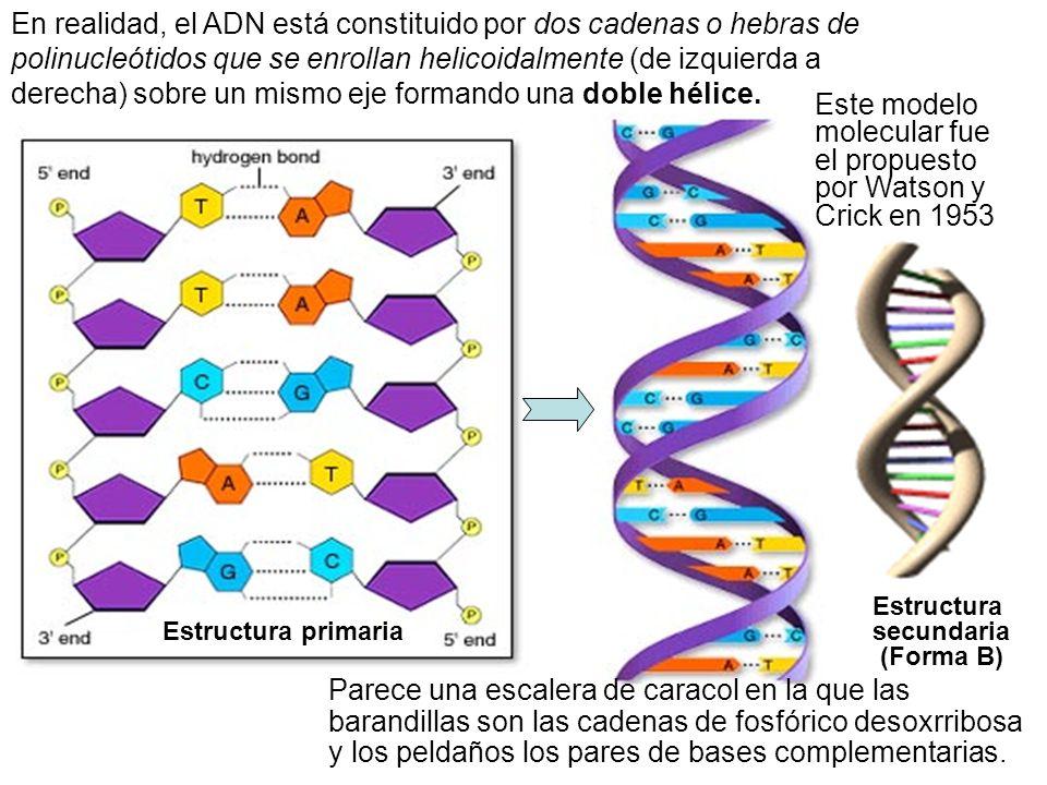 Estructura secundaria (Forma B) Estructura primaria En realidad, el ADN está constituido por dos cadenas o hebras de polinucleótidos que se enrollan h