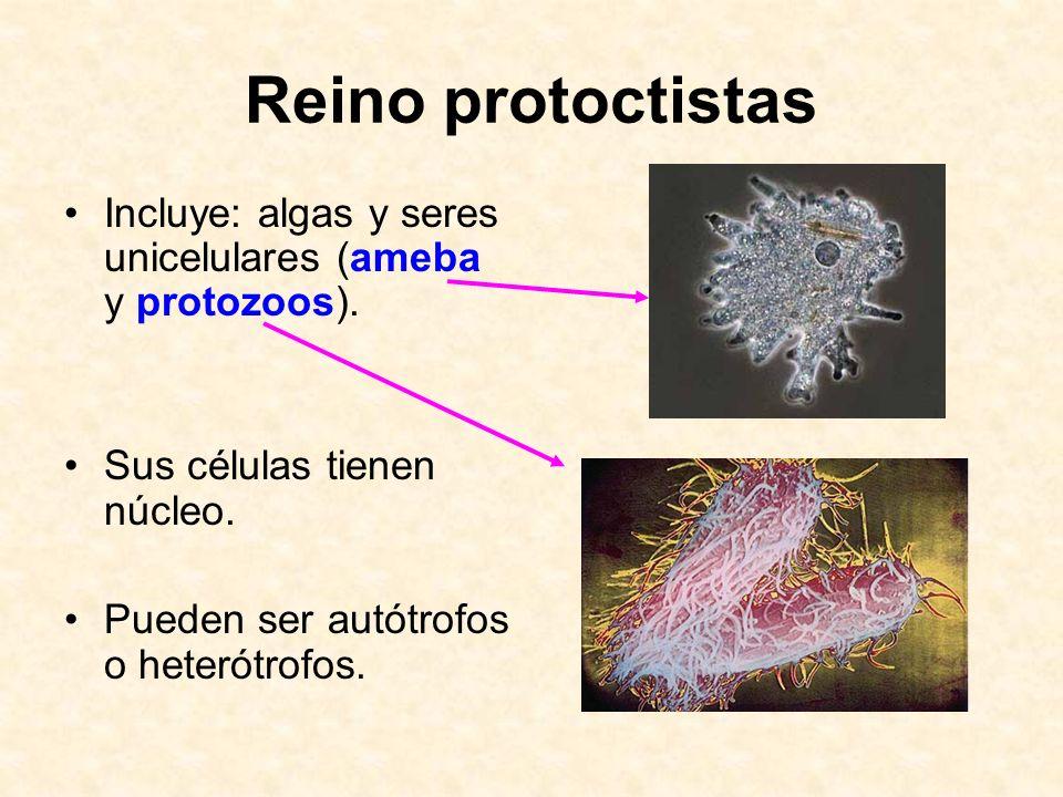 Reino protoctistas Incluye: algas y seres unicelulares (ameba y protozoos). Sus células tienen núcleo. Pueden ser autótrofos o heterótrofos.