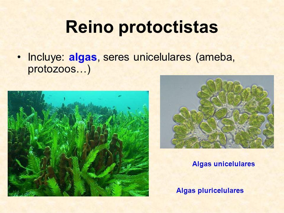 Reino protoctistas Incluye: algas, seres unicelulares (ameba, protozoos…) Algas unicelulares Algas pluricelulares