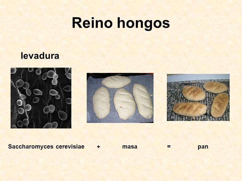 Reino hongos Saccharomyces cerevisiae+ masa= pan levadura