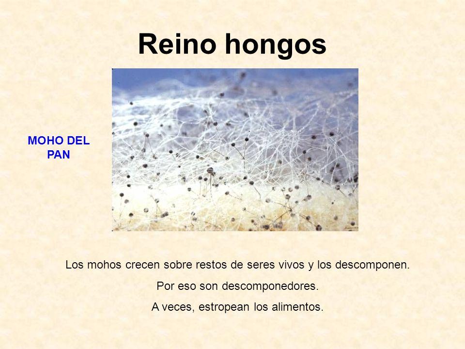 Reino hongos Los mohos crecen sobre restos de seres vivos y los descomponen. Por eso son descomponedores. A veces, estropean los alimentos. MOHO DEL P