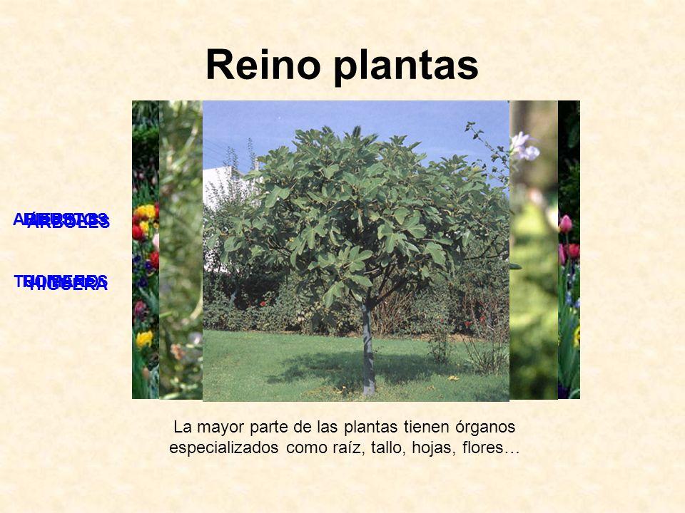 Reino plantas La mayor parte de las plantas tienen órganos especializados como raíz, tallo, hojas, flores… HIERBAS TULIPANES ARBUSTOS ROMERO ÁRBOLES H