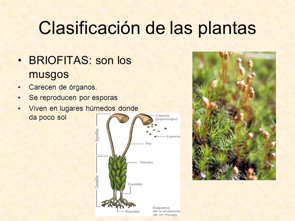 Clasificación de las plantas BRIOFITAS: son los musgos Carecen de órganos. Se reproducen por esporas Viven en lugares húmedos donde da poco sol