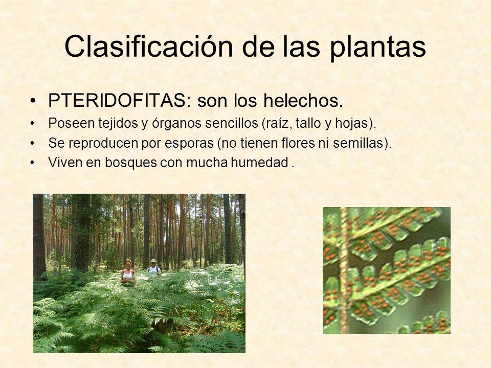 Clasificación de las plantas PTERIDOFITAS: son los helechos. Poseen tejidos y órganos sencillos (raíz, tallo y hojas). Se reproducen por esporas (no t